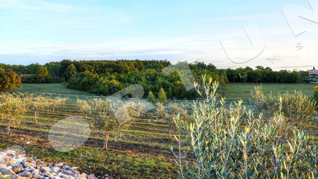 Olive grove with 14 acres in northern Istria close to Buje
